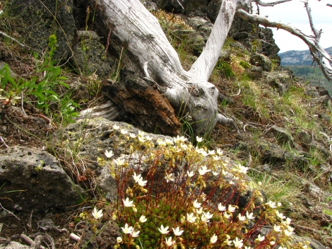Saxifraga austromontana near the skeleton of a burned whitebark pine.
